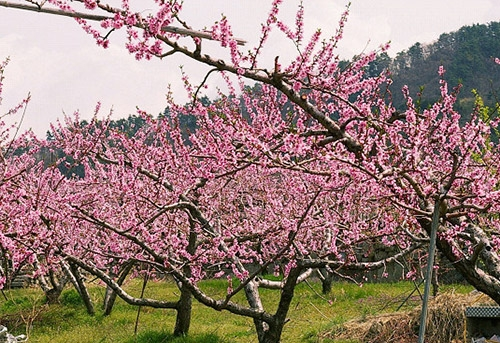 persika blommor