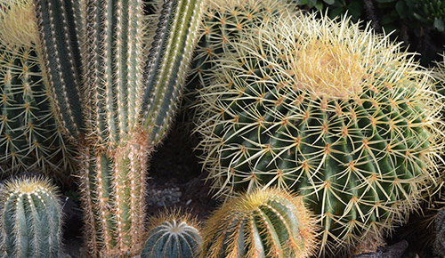 Kaktus sorter