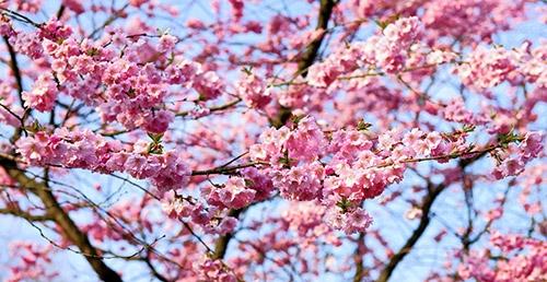 körsbärsträd rosa blommor