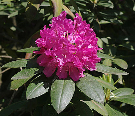 Rhododendron blomma