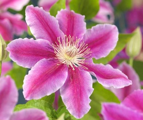 klematis blomma