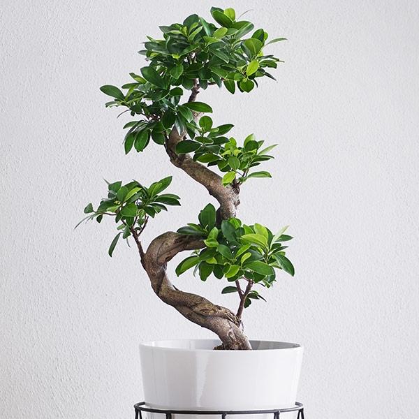Bonsaiträd som present