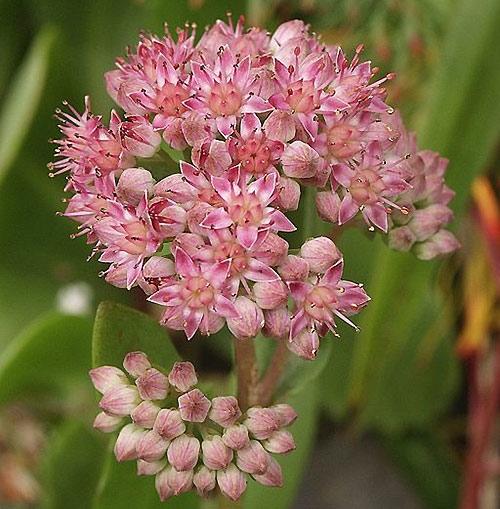 Kärleksört blomma