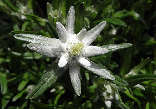 edelweiss blomma