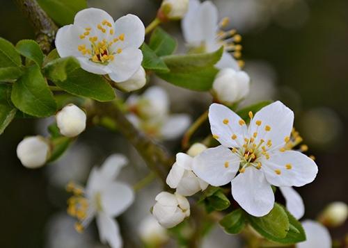 plommon blommor