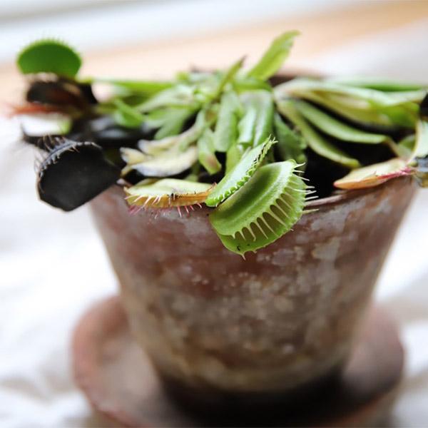 Köttätande växt som present